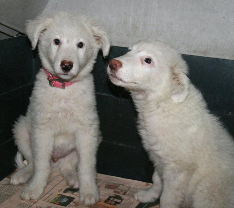 NS cuccioli maremmani canile