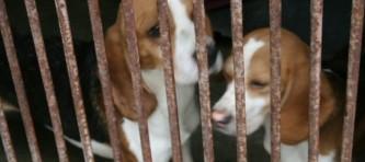 evidenz-beagle-007