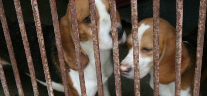 Dal laboratorio al canile: una nuova vita per i beagle