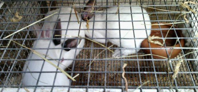 Ritirati per maltrattamento dieci conigli da carne