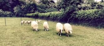 EVIDENZA pecore 060d