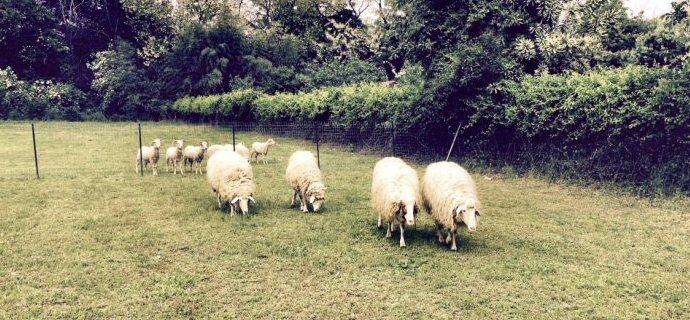 Erbivori: doppio lieto fine per pecore e pony