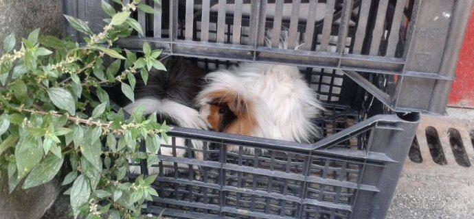 Cavie nella cassetta per verdure