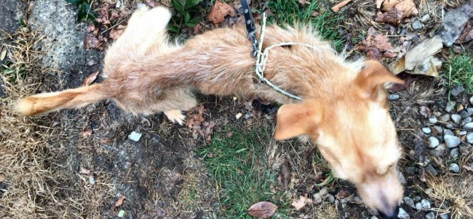 Sequestrati tre cani ridotti a pelle e ossa