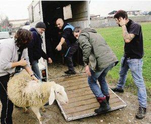 giornale-pecore-6