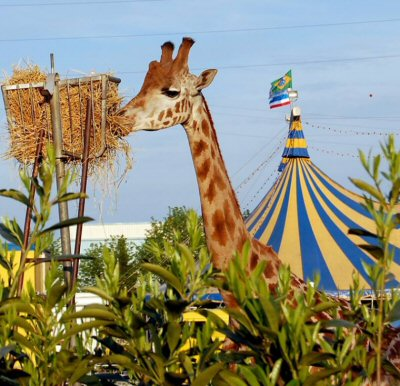 giraffa mangia-625093-NS