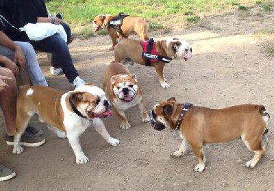 gruppo bulldog-94966-NS