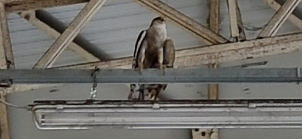 Falco con sorpresa