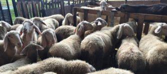 evidenza 2-ok-pecore recinto_0637-fb
