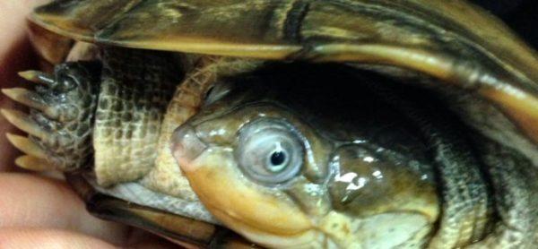 Un'invasione di tartarughe: sempre piùabbandoni e cessioni.