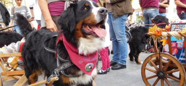 Bovari del Bernese e cani di canile insieme contro il bullismo