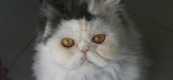 AAA cercasi casa (e padrone) per dolcissimo gatto persiano