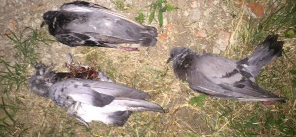 Moria di piccioni, ecco gli sviluppi