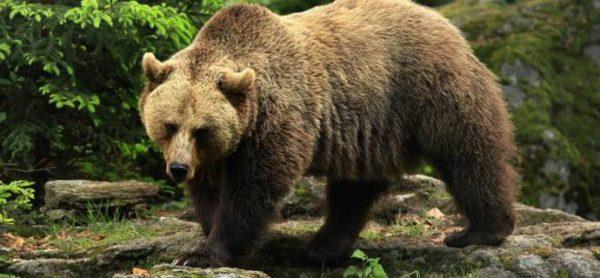 Orso in Trentino: una nuova Daniza?