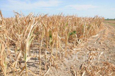 campagna-agricoltura-granturco-siccita-NS