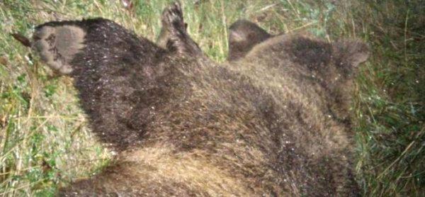 L'uccisione dell'orsa KJ2 in Trentino: un crimine contro gli animali. Ora parte la mobilitazione.