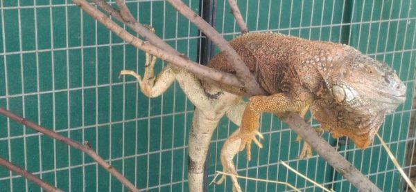 Bollate, abbandonata (o persa?) iguana nel Parco delle Groane