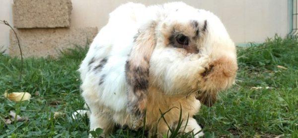 Maltrattamento o semplice ignoranza? Troppi i conigli vittime di una gestione scorretta con conseguenze devastanti.