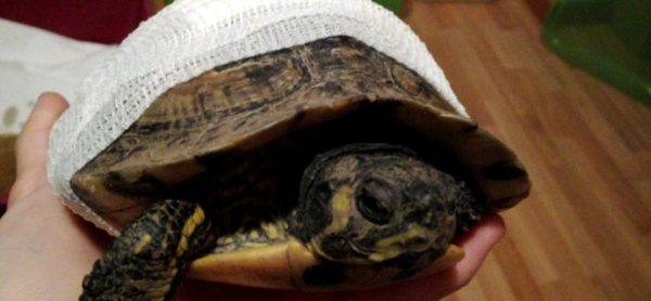 Un brutto incontro per la tartaruga Frank