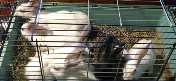 Abbandonati in stazione in pieno giorno, sei conigli XL nuovi ospiti del rifugio di Monza.