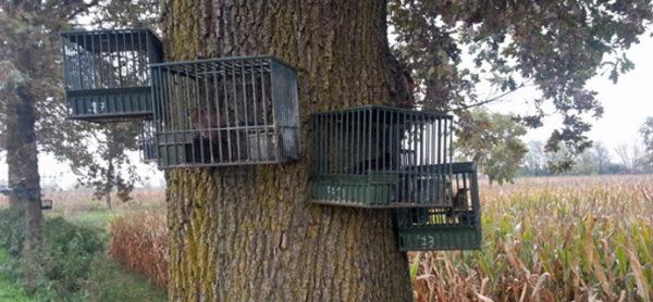 Caccia: la Regione Lombardia vuole ripristinare con una legge illegittima la cattura di uccelli selvatici da usare come richiami vivi.