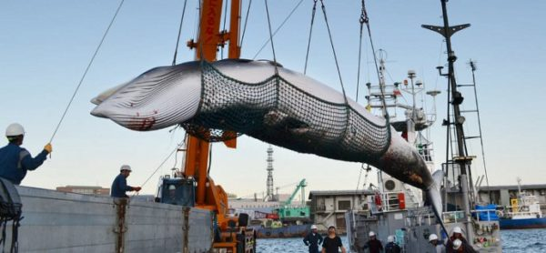 Caccia alle balene: ENPA pronta alla mobilitazione in Italia.